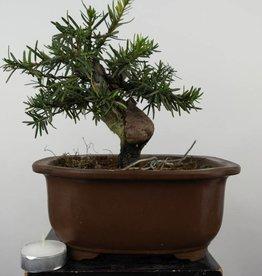 Bonsai Shohin Japanische Eibe, Taxus cuspidata, nr. 6014
