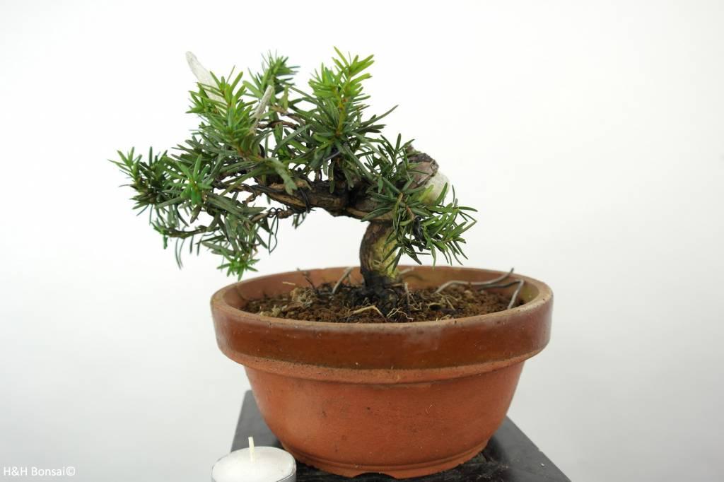 Bonsai Japanese yew, Taxus cuspidata, no. 6016