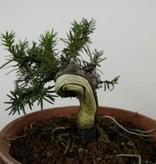 Bonsai Japanische Eibe, Taxus cuspidata, nr. 6016