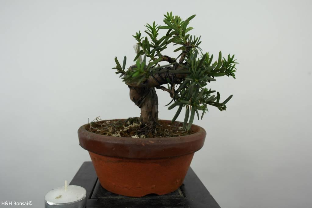 Bonsai Japanische Eibe, Taxus cuspidata, nr. 6018