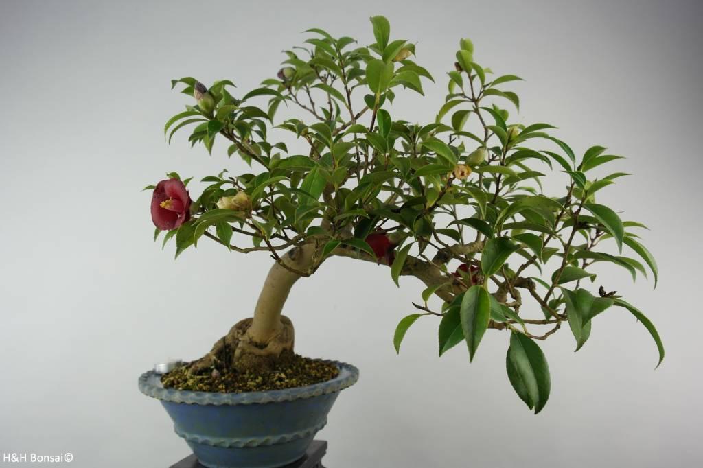 bonsai kamelie camellia japonica nr 6020 www. Black Bedroom Furniture Sets. Home Design Ideas