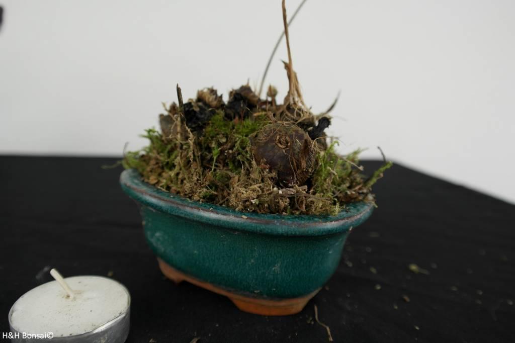 Orchidee, Pleione formosana, nr. 6103