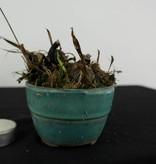 Orchidee, Pleione formosana, nr. 6104