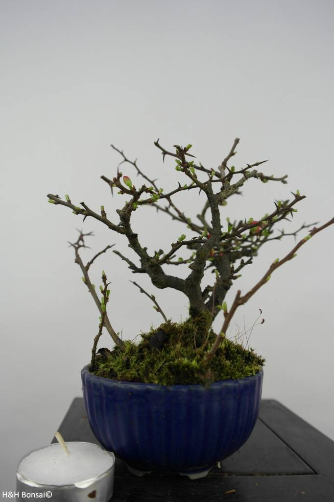Bonsai Shohin Zierquitte, Chaenomeles speciosa, nr. 6143