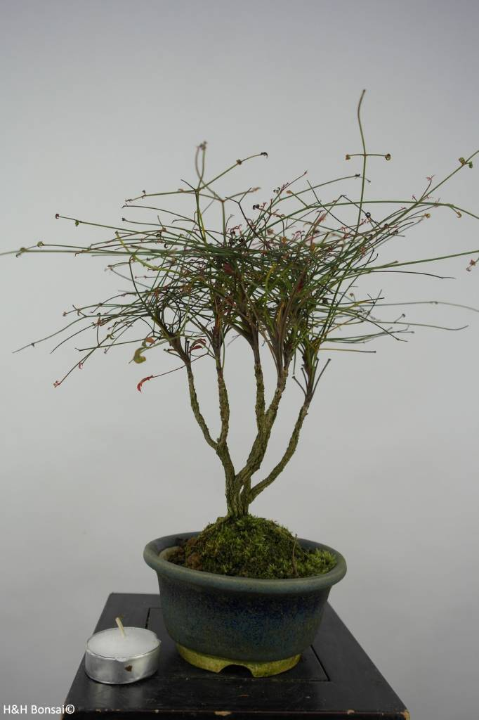 Bonsai Nandina sp., nr. 6145