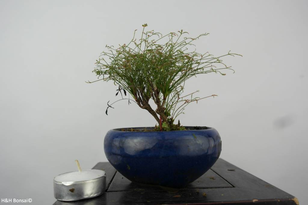 Bonsai Shohin Nandina sp., nr. 6147