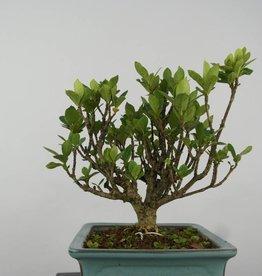 Bonsai Shohin Gardenie, Gardenia, nr. 6151