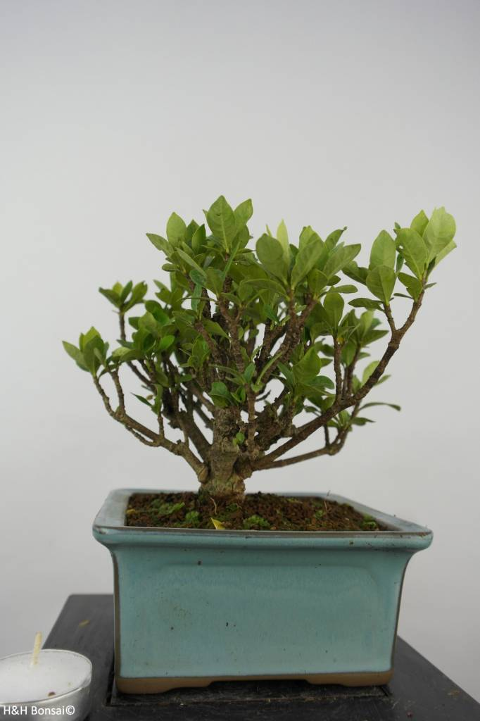 Bonsai Shohin Gardenia, no. 6152