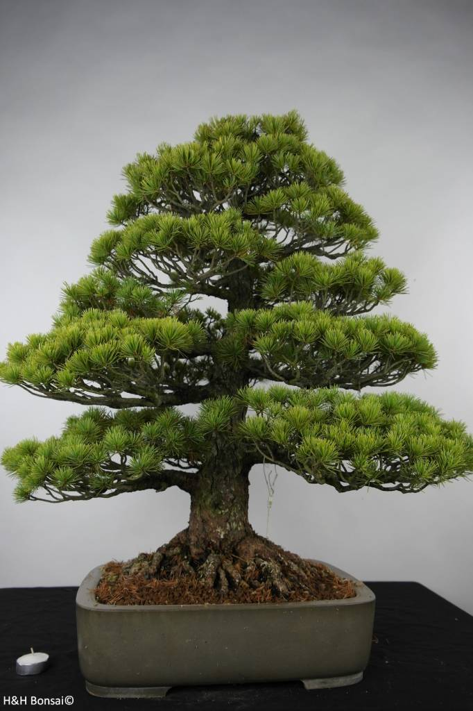 bonsai m dchenkiefer pinus parviflora nr 6176 www. Black Bedroom Furniture Sets. Home Design Ideas