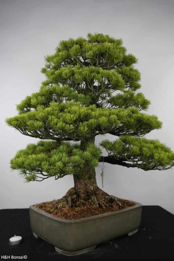 Bonsai Mädchenkiefer, Pinus parviflora, nr. 6176