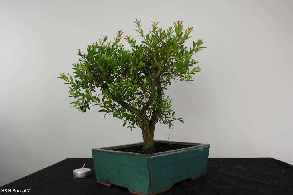 Bonsai Syzygium sp. , nr. 6254