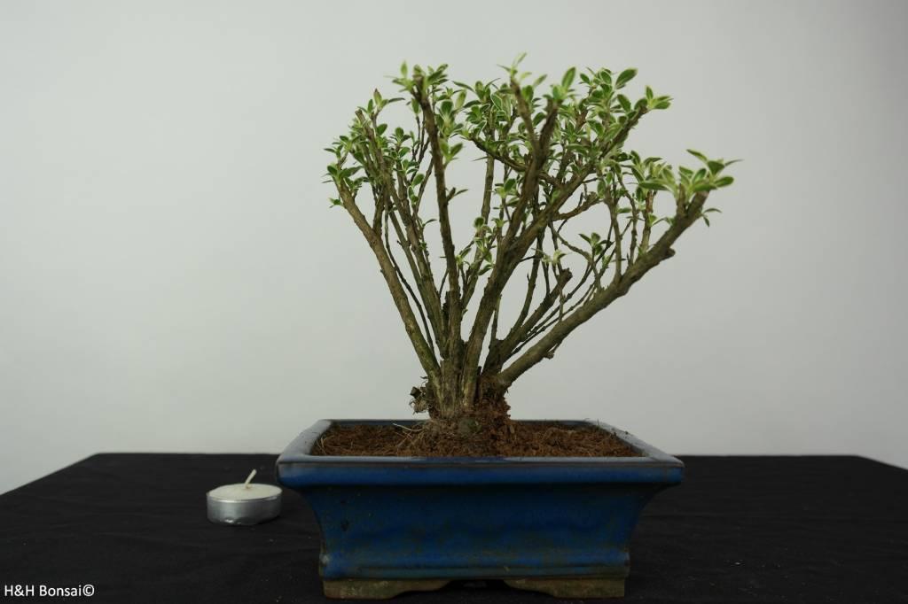 Bonsai Junischnee,Serissa variegata, nr. 6325