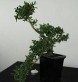 Bonsai Japanische Stechpalme, Ilex crenata, nr. 6382