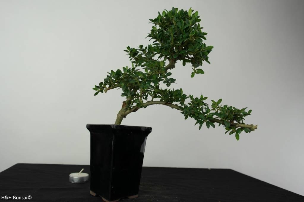 bonsai japanische stechpalme ilex crenata nr 6387 www. Black Bedroom Furniture Sets. Home Design Ideas