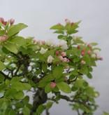 Bonsai Crabapple, Malus zumi, no. 5854