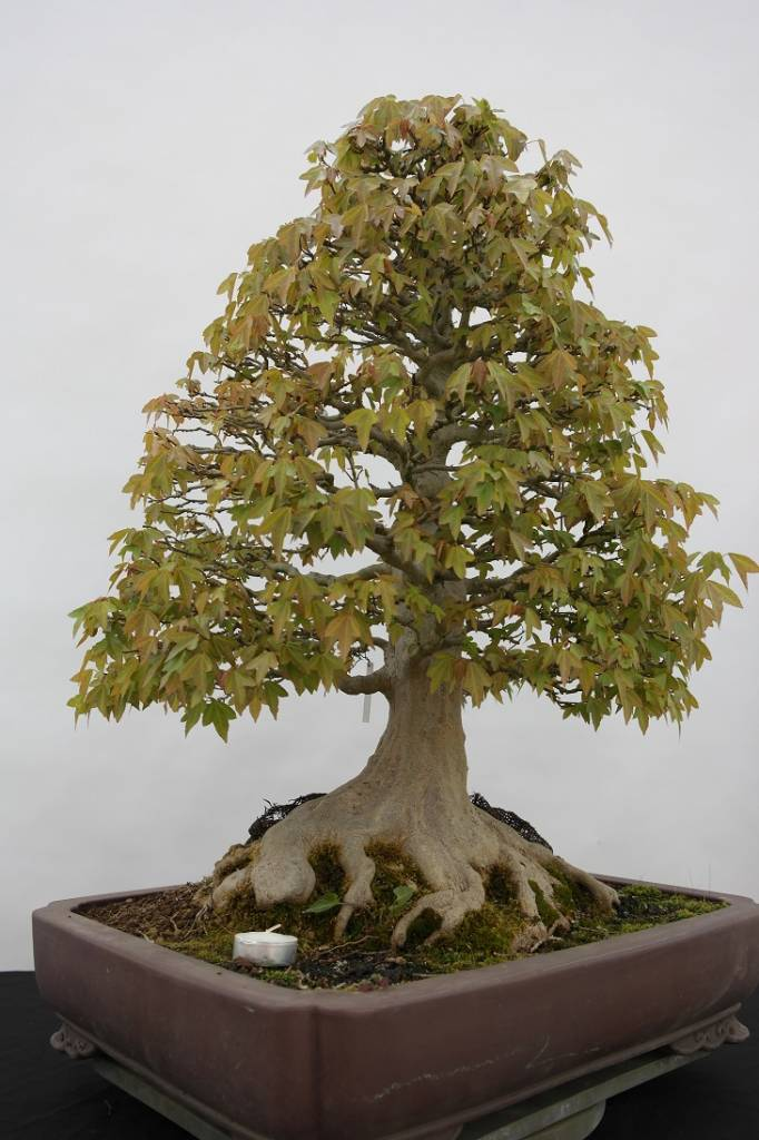 bonsai dreispitzahorn acer buergerianum nr 5522 www. Black Bedroom Furniture Sets. Home Design Ideas