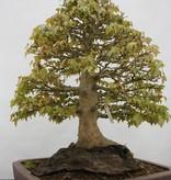 Bonsai Dreispitzahorn, Acer buergerianum, nr. 5522