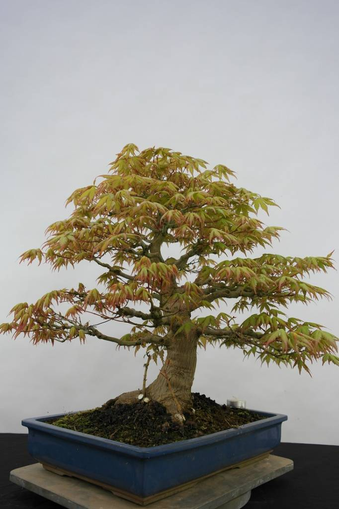 Bonsai Japanese maple, Acer palmatum, no. 5509