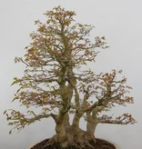 Bonsai Japanese maple, Acer palmatum, no. 5853