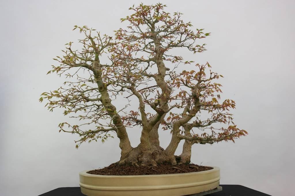 bonsai jap f cherahorn acer palmatum nr 5853 www. Black Bedroom Furniture Sets. Home Design Ideas