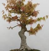 Bonsai Jap. Fächerahorn, Acer palmatum, nr. 5232