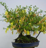 Bonsai Erbsenstrauch, Caragana sp., group, nr. 6403