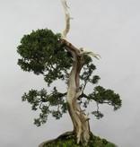 Bonsai Chin. Wacholder, Juniperus chinensis, nr. 5799