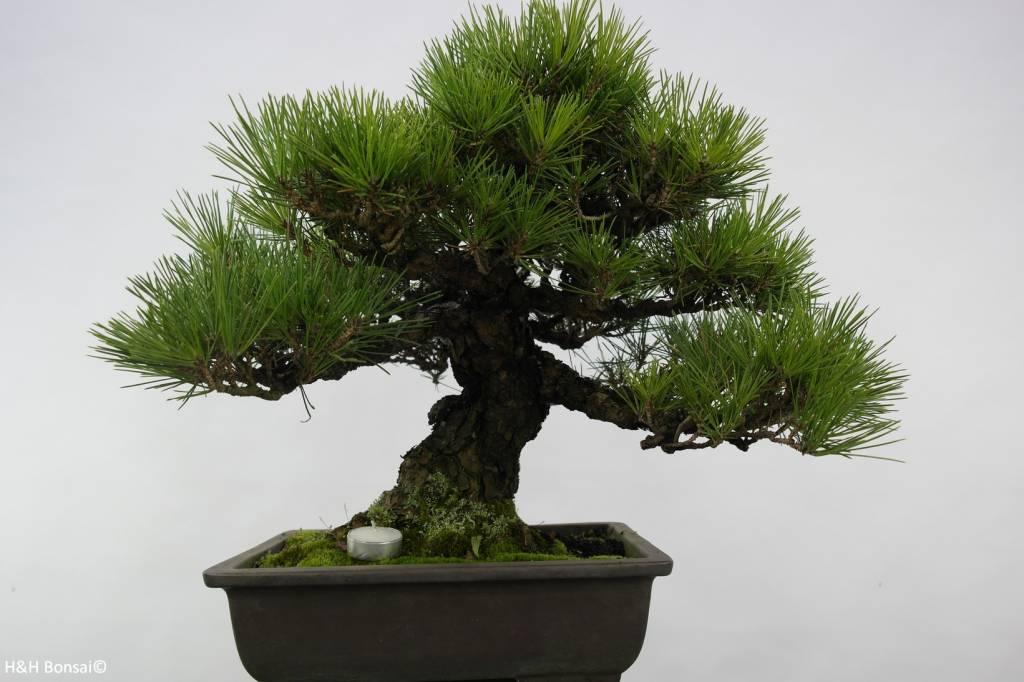 Bonsai Schwarzkiefer, Pinus thunbergii, no. 5505