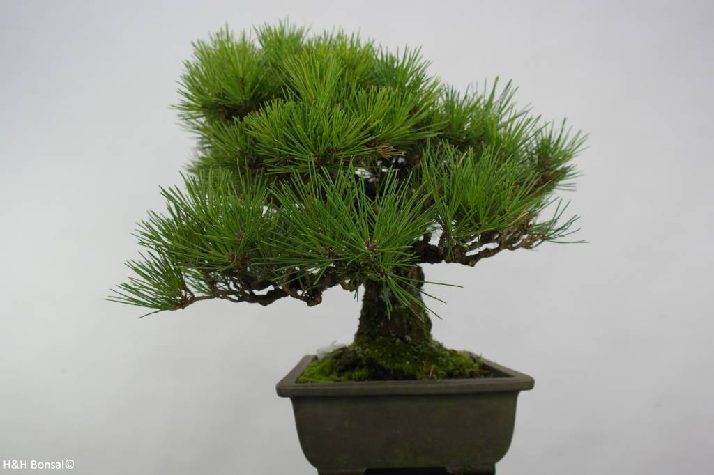 Bonsai Schwarzkiefer, Pinus thunbergii, no. 5505