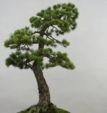 Bonsai Mädchenkiefer, Pinus penthaphylla, no. 5503