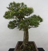Bonsai Japanese Black Pine, Pinus thunbergii, no. 5167