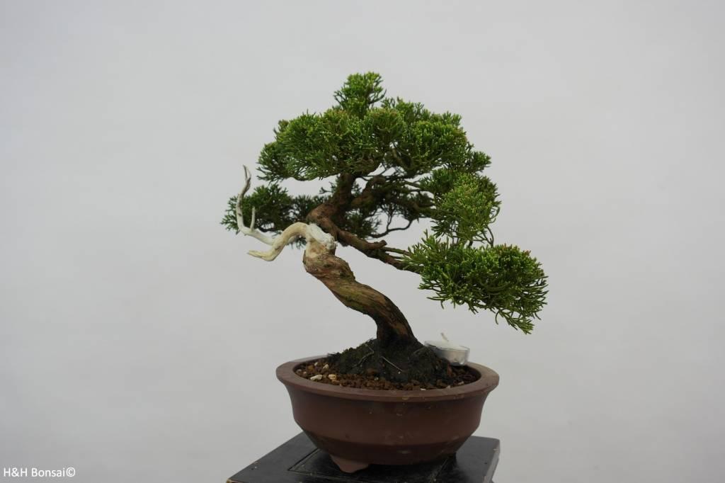 Bonsai Chin. Wacholder, Juniperus chinensis, nr. 5539