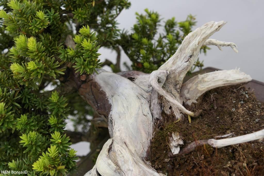 Bonsai Taxus, cascade, no. 5175
