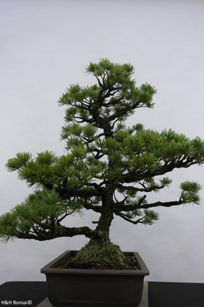 Bonsai Japanese White Pine, Pinus pentaphylla sp., no. 6433