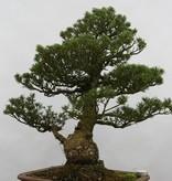 Bonsai Mädchenkiefer kokonoe, Pinus parviflora kokonoe, nr. 6436