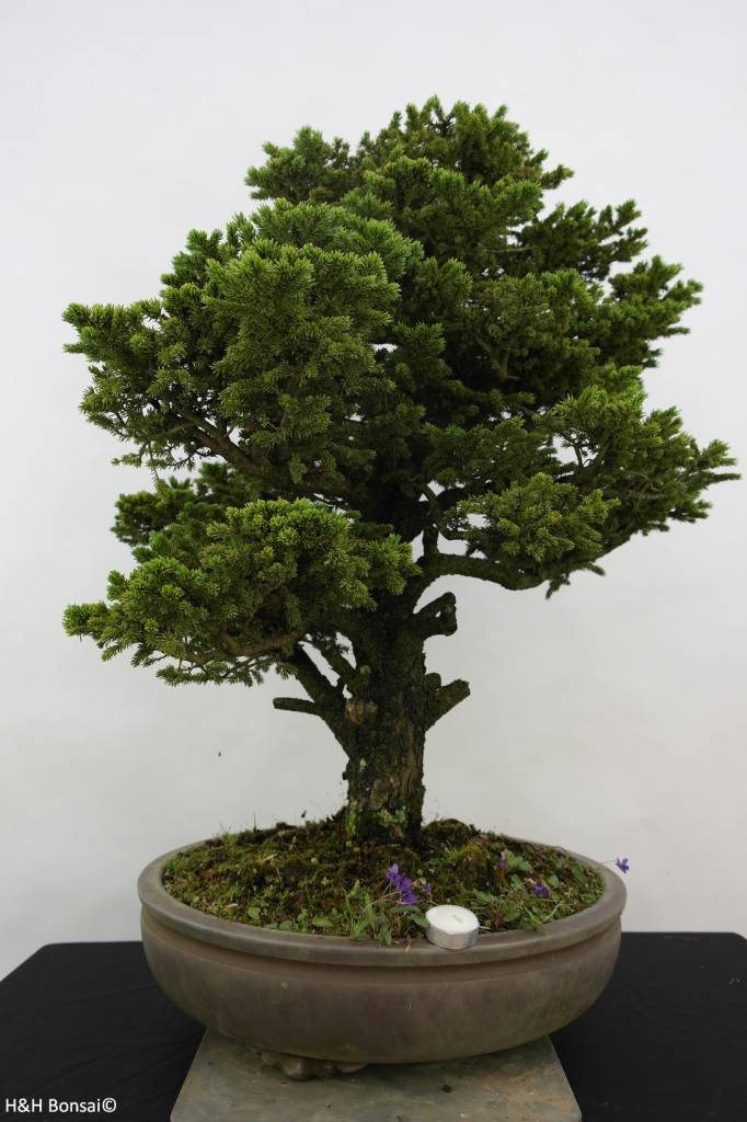 Bonsai Fichte, Picea sp., nr. 6438
