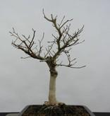 Bonsai Kerbbuche, Fagus crenata, nr. 6443