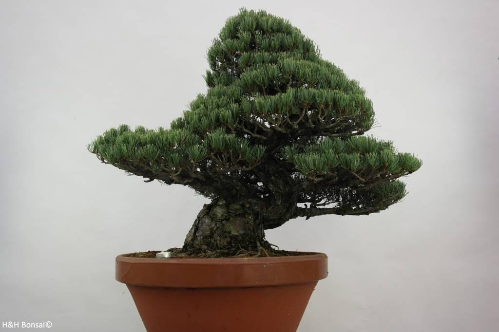 bonsai m dchenkiefer pinus pentaphylla nr 6453 www. Black Bedroom Furniture Sets. Home Design Ideas