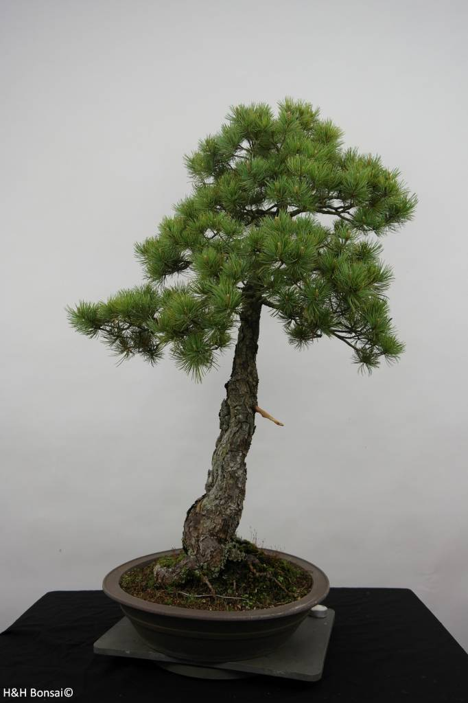 bonsai m dchenkiefer pinus pentaphylla nr 6455. Black Bedroom Furniture Sets. Home Design Ideas