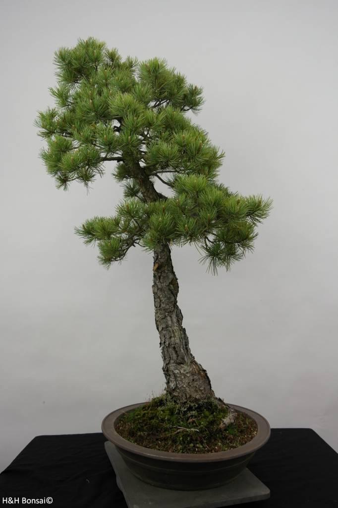 bonsai m dchenkiefer pinus pentaphylla nr 6455 www. Black Bedroom Furniture Sets. Home Design Ideas