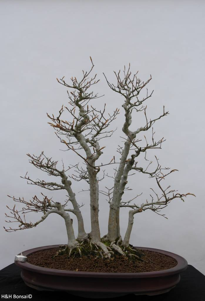 bonsai kerbbuche fagus crenata nr 6459. Black Bedroom Furniture Sets. Home Design Ideas