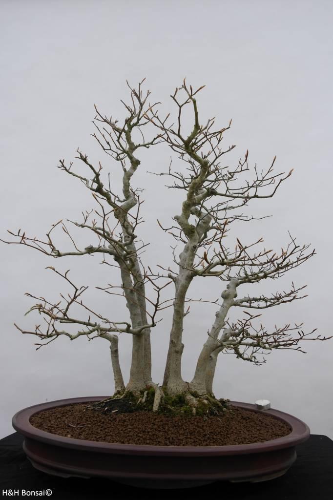 bonsai kerbbuche fagus crenata nr 6459. Black Bedroom Furniture Sets. Home Design Ideas