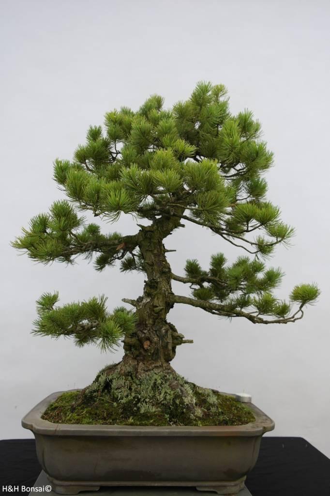 Bonsai Mädchenkiefer azuma, Pinus parviflora azuma, nr. 6462