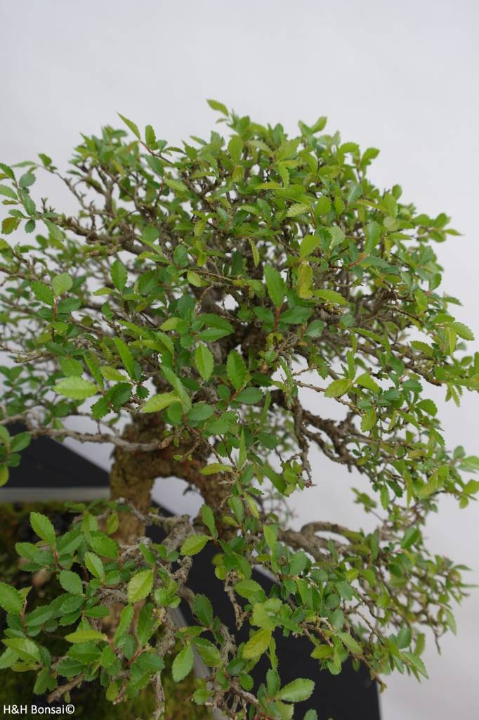 Bonsai Zelkove, Zelkova sp., nr. 6463