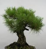 Bonsai Japanese Black Pine, Pinus thunbergii, no. 6464