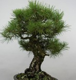 Bonsai Schwarzkiefer, Pinus thunbergii, nr. 6464