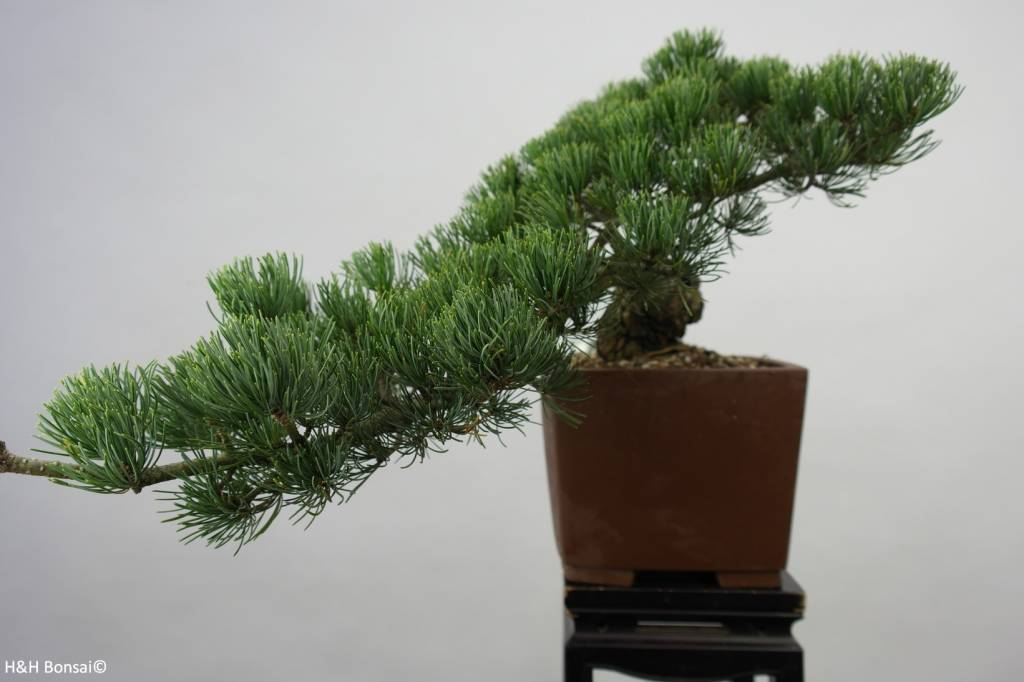 Bonsai Japanese White Pine, Pinus pentaphylla, no. 6475