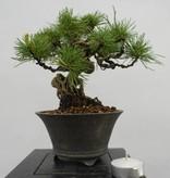 Bonsai Shohin Mädchenkiefer, Pinus parviflora, nr. 6481