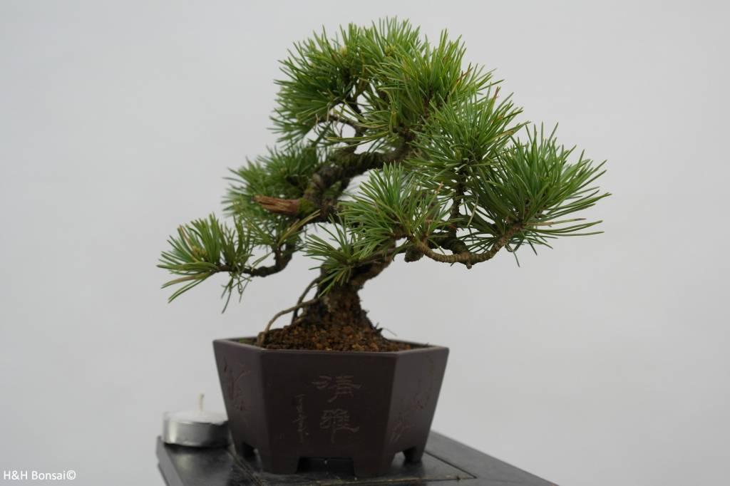 Bonsai Shohin White pine, Pinus parviflora, no. 6482