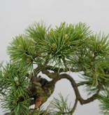 Bonsai Shohin Mädchenkiefer, Pinus parviflora, nr. 6482